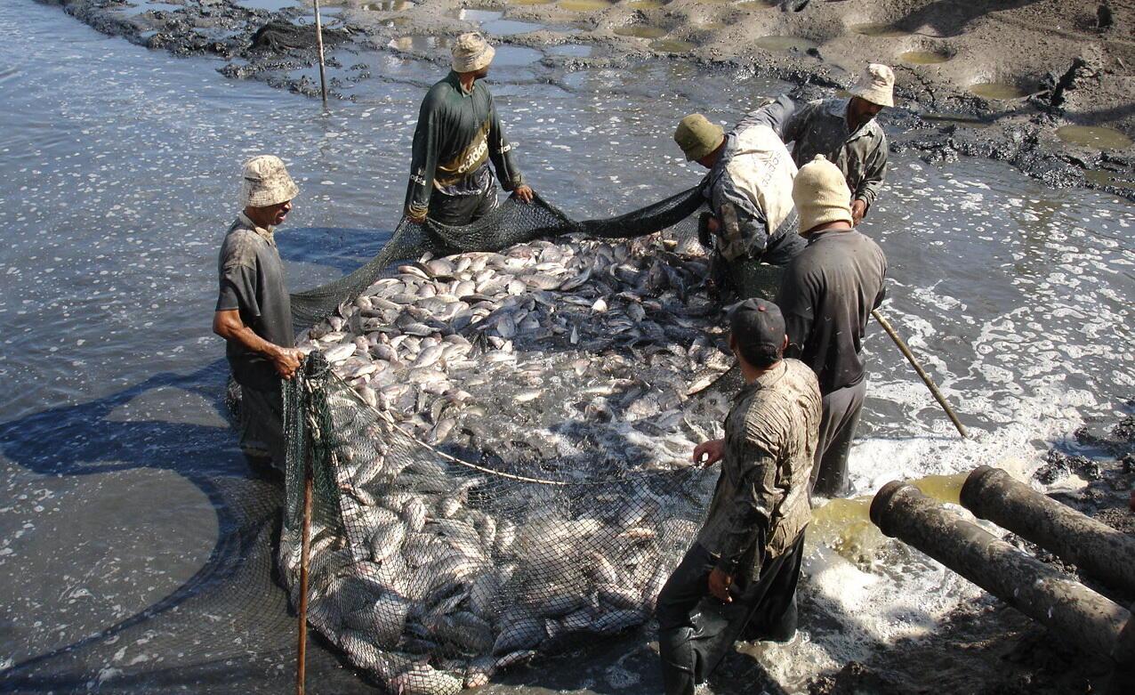 """مشاريع الإستزراع السمكي في مصر… """"قنابل بيولوجية"""" تهدد المواطنين"""