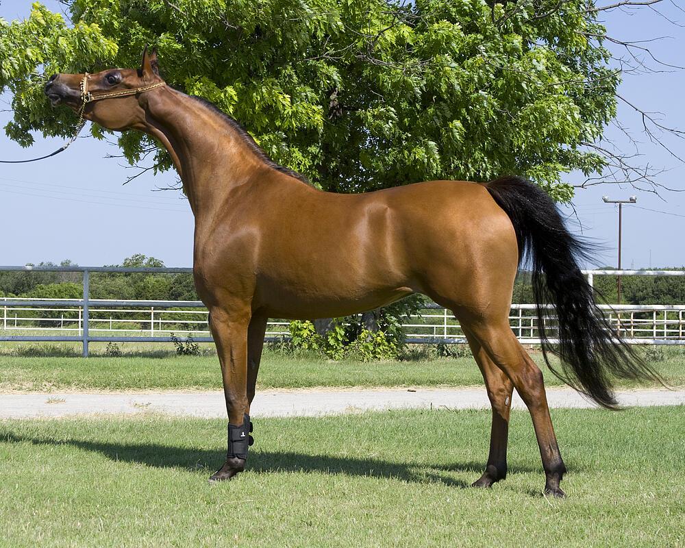 الحصان يستطيع أن يعيش 25 يوم بدون أكل