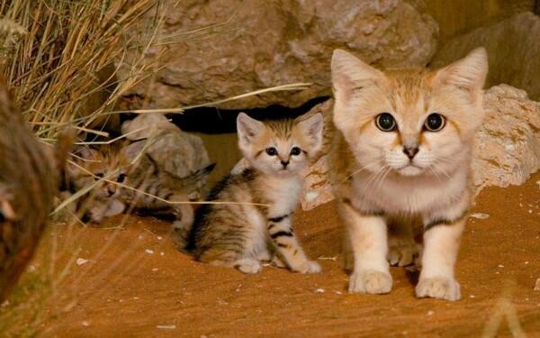 قطط الرمال المهددة بالإنقراض .. تظهر في المغرب