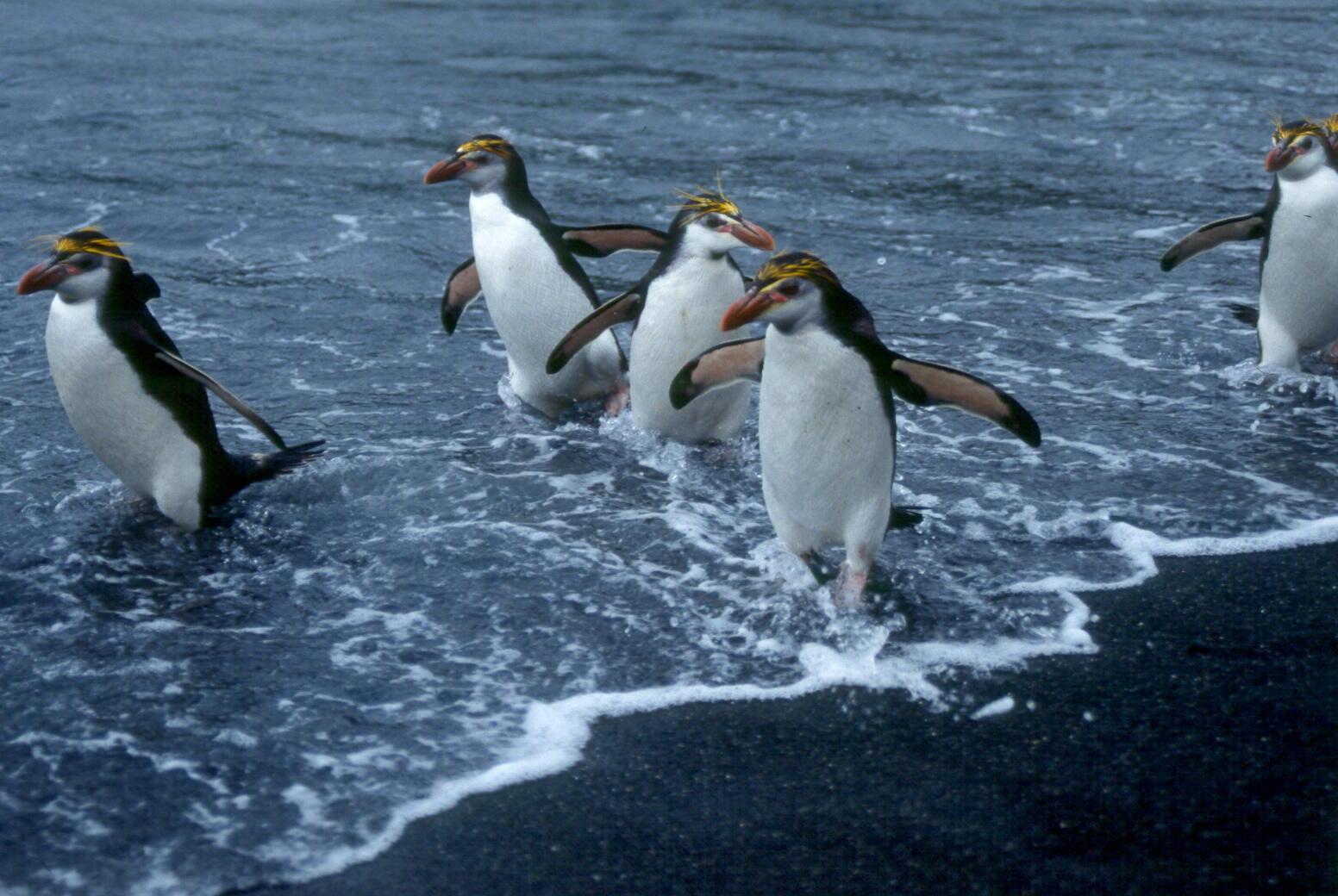 معلومات عن طائر البطريق وأين يجعل عشه Www.nogooom.com1412042258341