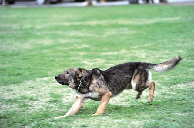 تكريم كلب عسكري في بريطانيا ومنحه ميداليةً تقديراً لجهوده