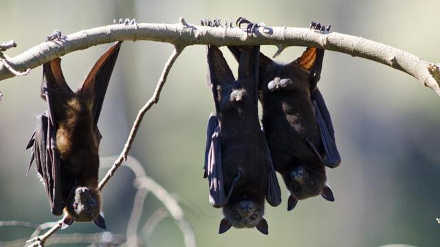 الحرارة تقضي على خفافيش أستراليا !