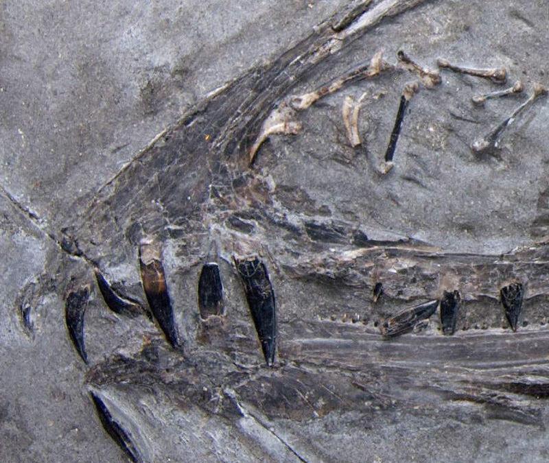 Les rayures dentaires révèlent de nouveaux indices sur les régimes de ptérosaures