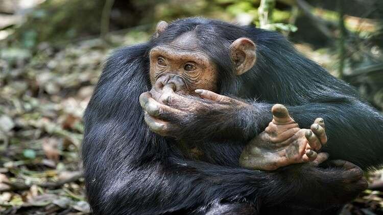 لماذا يأكل الشمبانزي أدمغة صغار فرائسه أولا؟