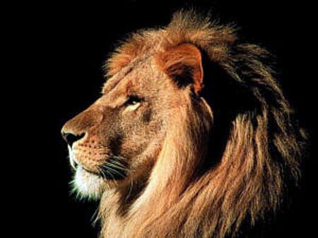 الاسد  كما يقال ملك الغابة من حيث طبيعته ولكن من حيث القوة فيوجد الكثير اقوى منه