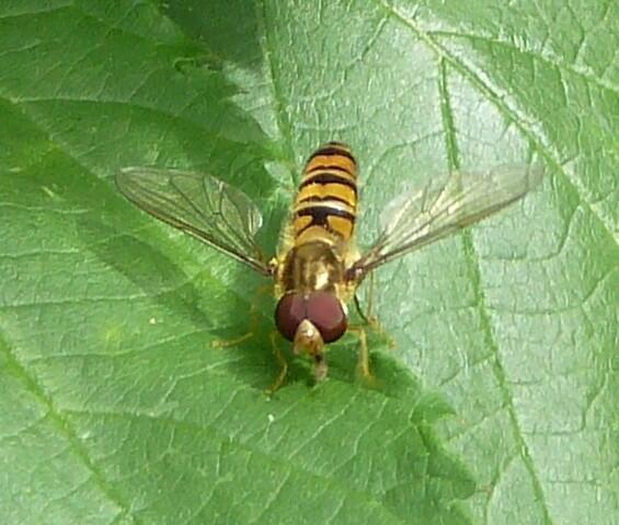 ذباب من نوع خاص يثير استنفار المغاربة