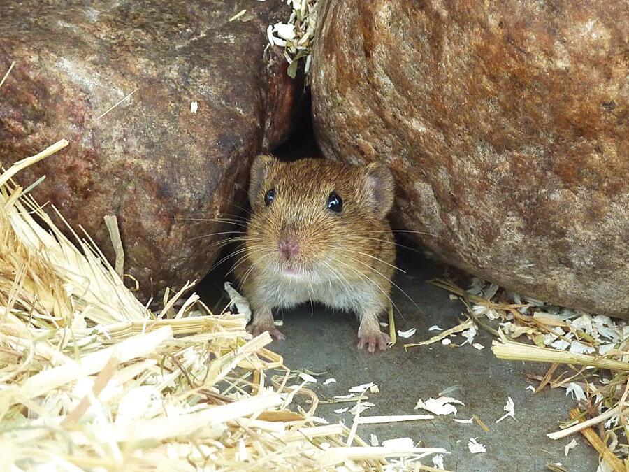 عدوى قاتلة للفئران في بريطانيا .. والإصابات تتضاعف سنوياً