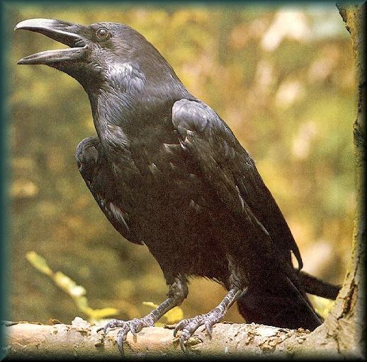 الغراب اذكى الطيور غير المدربة فهو لديه القدرة على استخدام بعض الادوات للحصول على غذائه