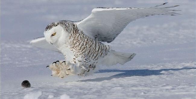 طائر الديك الثلجي الذي يعيش في جبال الهيميلايا يمتاز بأنه اعلى الطيور تعشيشا فقد سجلت اخر الابحاث اعلى عش له وعلى ارتفاع 6.332 م