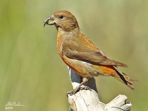 طائر القرزبيل: وهو طائر يملك منقاراً معقوفاً للأسفل، ويستخدمه في التقاط ثمار الصنوبر