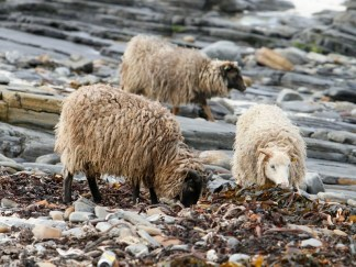 The North Ronaldsay Sheep feed on seaweed.
