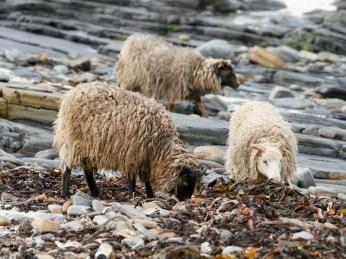 The North Ronaldsay Sheep feed on seaweed.