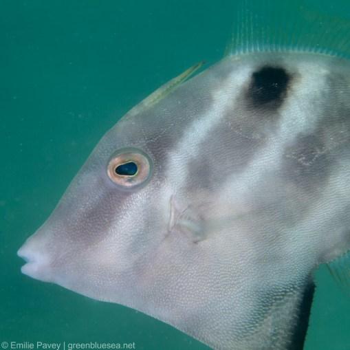 Threadsail filefish