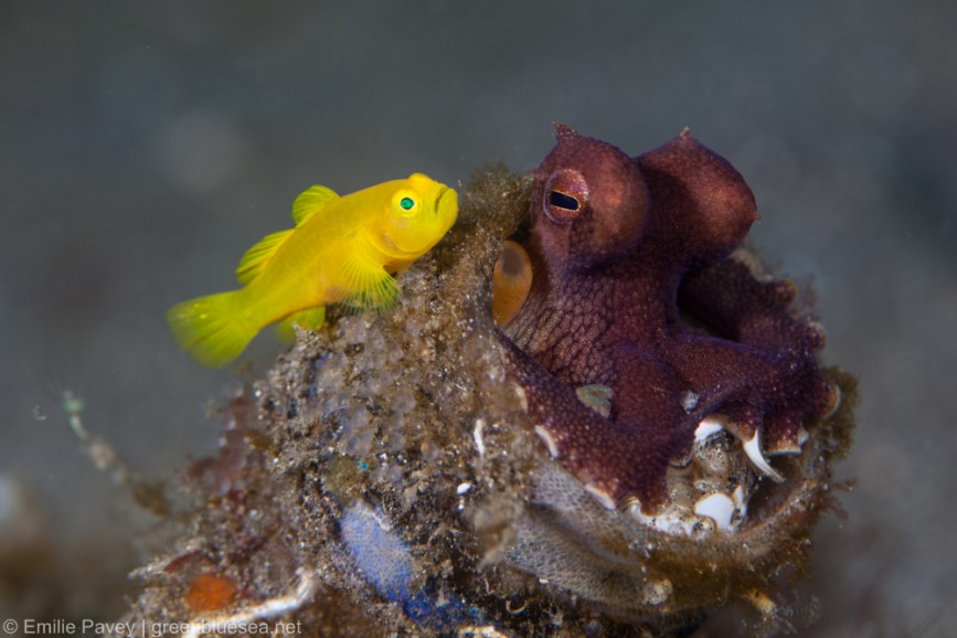 Octopus with golden goby