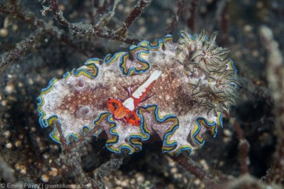 Nudibranch with commensal shrimp