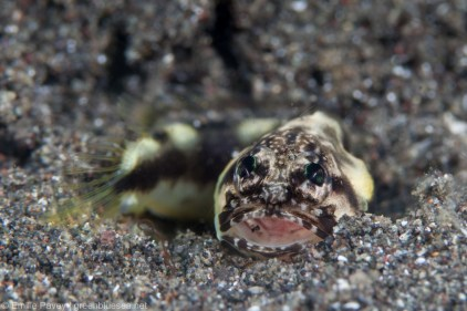 Tiny jawfish