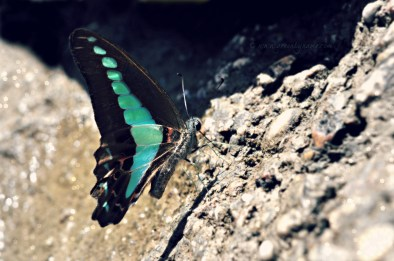Bluebottle Butterfly ~ Graphium, Lepidoptera Papilionidae ~ Cambodia