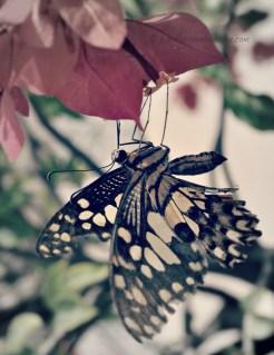 Butterflies ~ Cambodia ~ 2010-2016