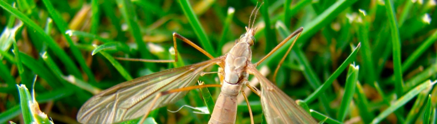 Crane Fly Acelepryn tips