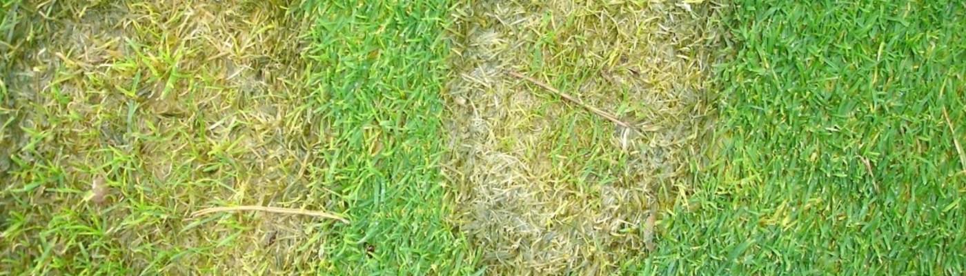 Microdochium Fusarium Patch