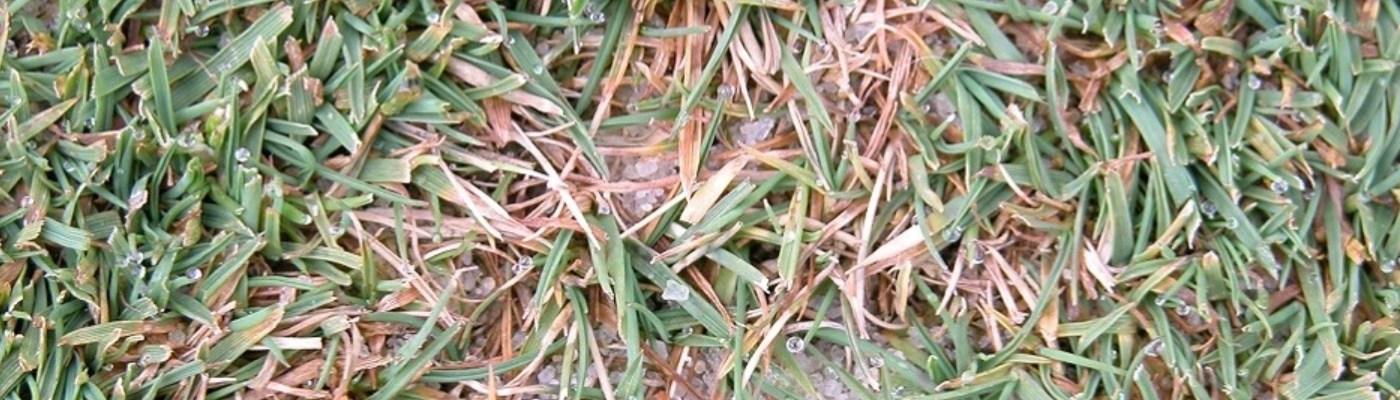 Managing Dollar Spot in turf grass