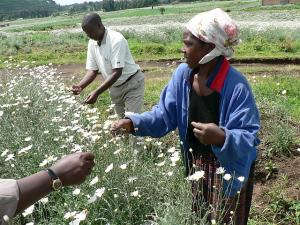 Pyrethrum crop