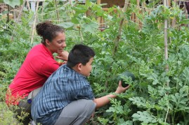 A Teaching Barn intern helps Jamie to check on the watermelons. We reused the tee-pees that the Spring peas had grown on to trellis our watermelons.