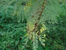 Leaves_Jacaranda mimosaefolia