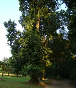 Sterculia spp. - Tree