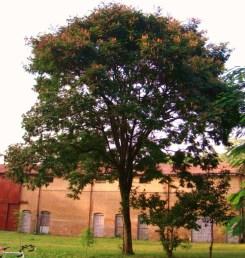 Peltophorum africanum_single tree