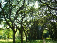 Peltophorum africanum_Trees