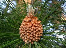 Male cones of Pinus roxburghii