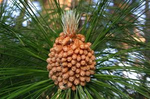 Male cones of Pinus roxburghii