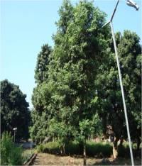 Dalbergia latifolia tree at FRI Dehradun campus