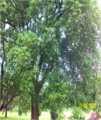 Putranjiva roxburghii