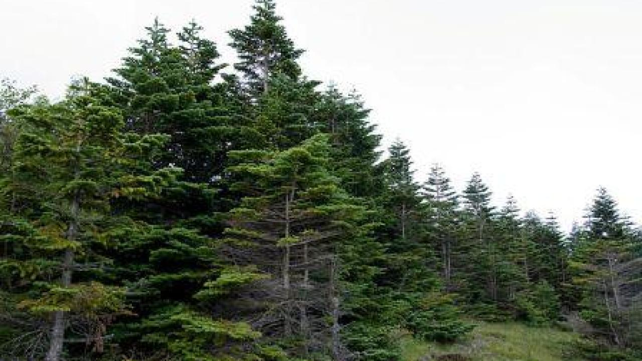 Gymnosperms- Beautiful, Useful Plants – Green Clean Guide