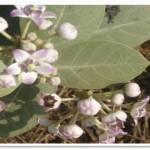 CALOTROPIS GIGENTIA FLOWERS