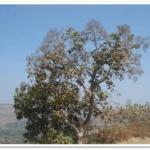 TECTONA GRANDIS TREE