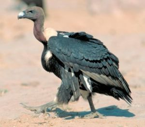 Vulture_Gyps bengalensis