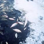 Mass fish deaths