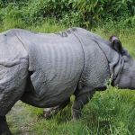 One horned Rhino