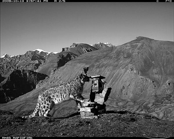 Snow Leopard picture through a camera trap.