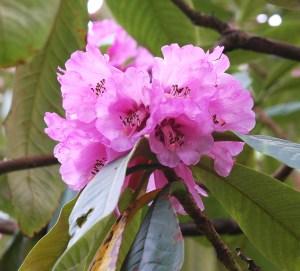 Rhododendren magnificum