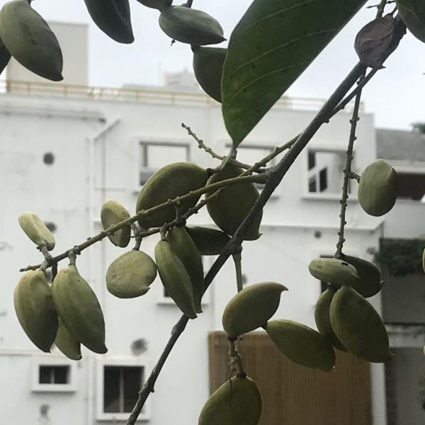 Millettia Pinnata: Indian beech tree seeds