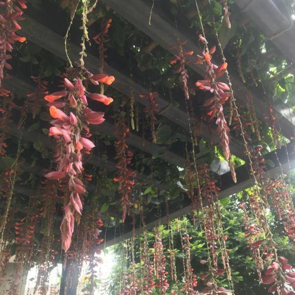 Thunbergia Mysorensis: Indian clock vine