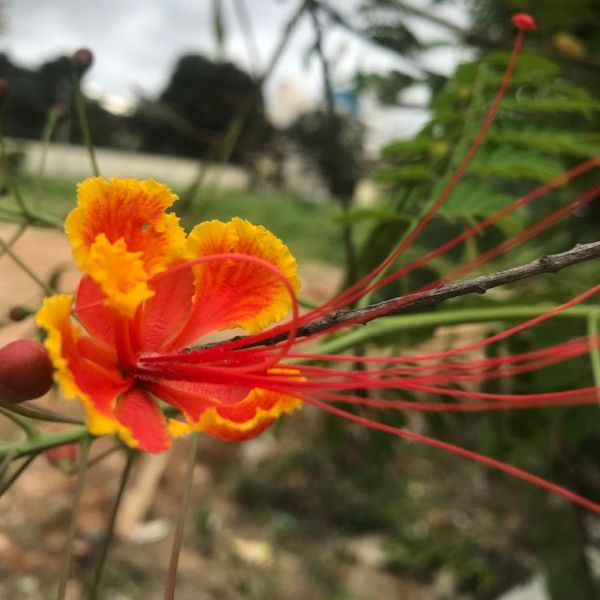 Caesalpinia Pulcherrima: Peacock flower