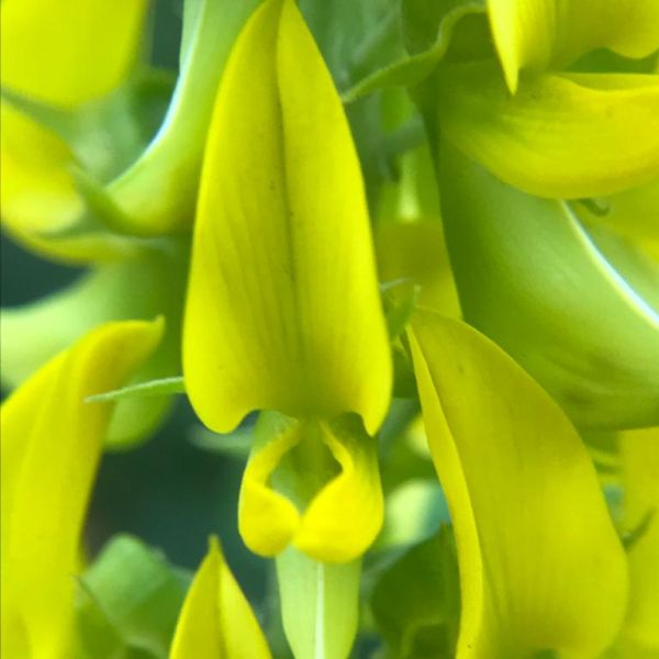 Crotalaria Pallida: Smooth rattlebox