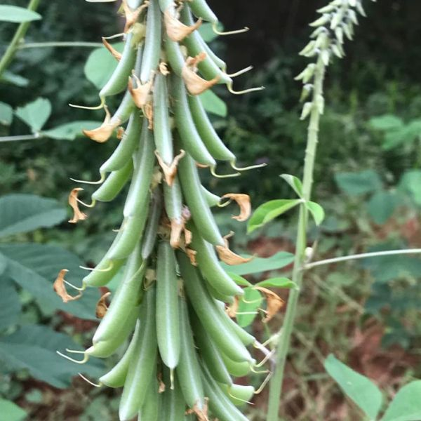 Crotalaria Pallida: Smooth rattlebox seeds