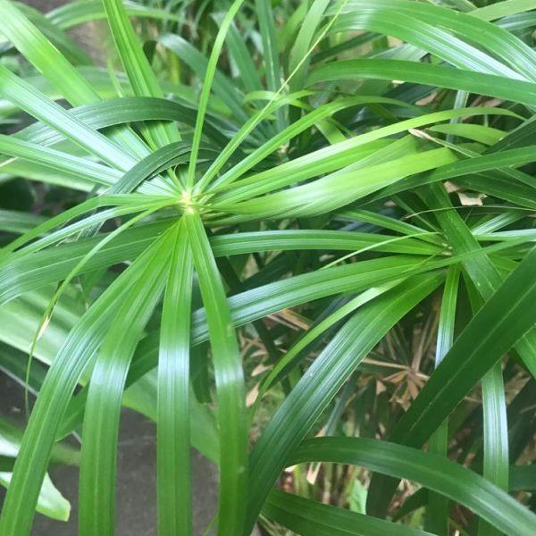 Umbrella palm plant