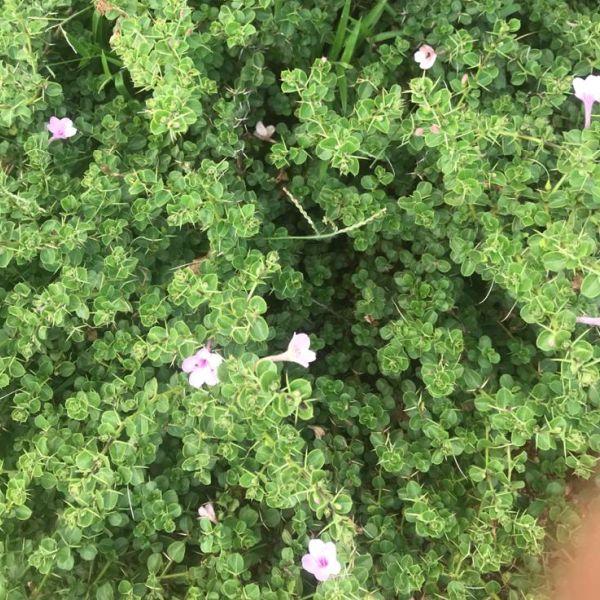 Barleria Buxifolia: Chullimullu
